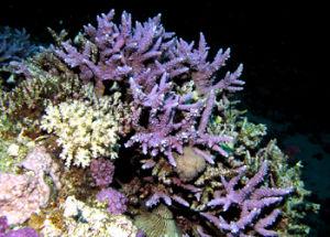 造礁珊瑚分布_造礁珊瑚亲缘分析_造礁珊瑚生长影响因素