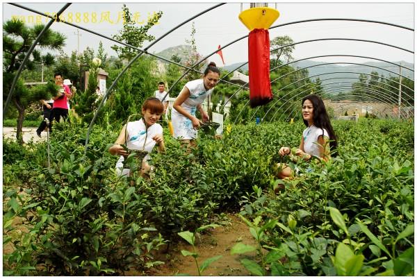 寒潮席卷产茶区 专家称济南茶叶价格不会大幅上涨