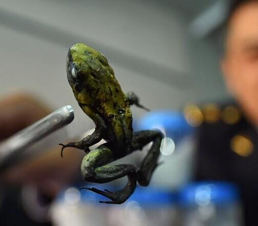 北京截获箭毒蛙活体 1克蛙毒可毒杀1万5000人