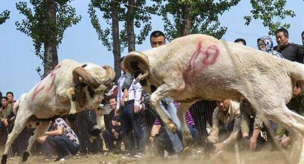 河南民间斗羊比赛 小羊被撞的七零八落