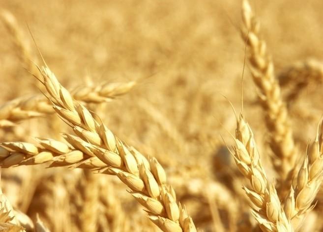 主产区小麦现货价格由稳转强 市场上涨苗头渐显