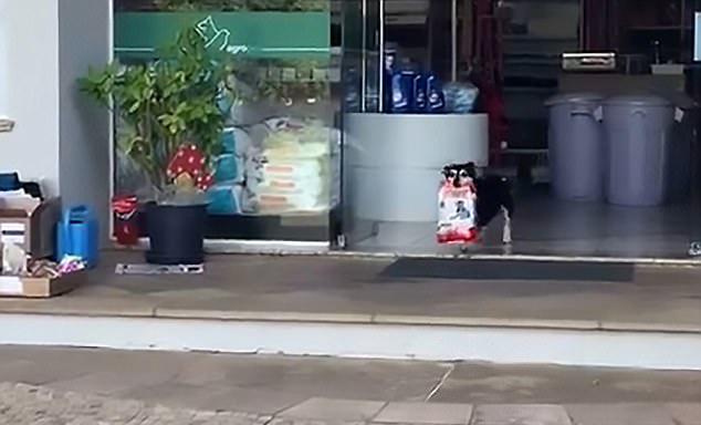 巴西天才狗狗 每天独自去宠物店取晚餐回家