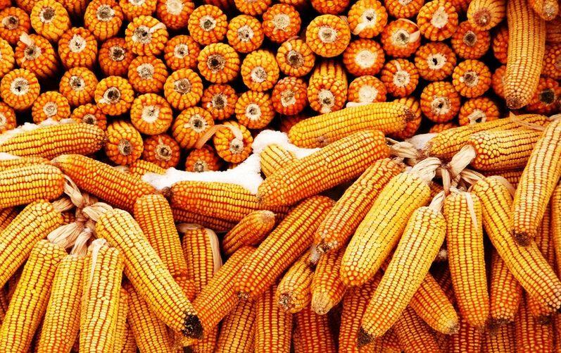 CBOT玉米期约周一小幅收高 因小麦市场外溢支撑