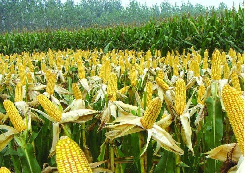 国内玉米供给侧改革 玉米底部价格抬高已成趋势
