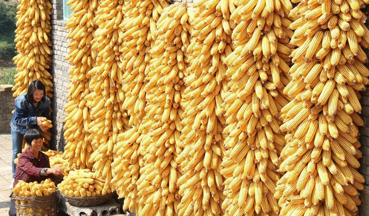 美玉米期货合约收涨2.5美分 玉米现货价格上涨
