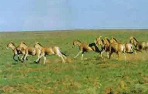 中蒙边界发现蒙古野驴 为国家一级保护动物