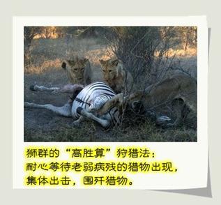 狮子捕猎的故事