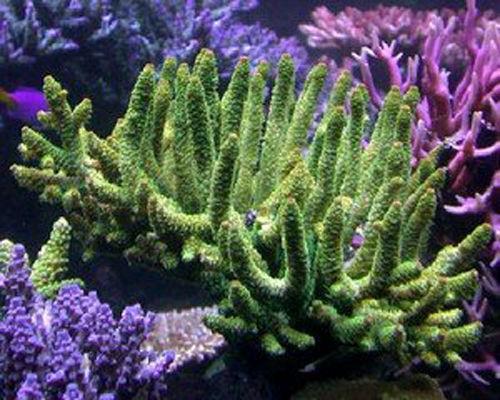 造礁珊瑚分布