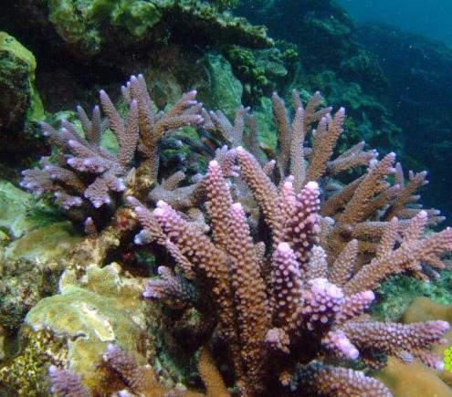 鹿角珊瑚物种代表