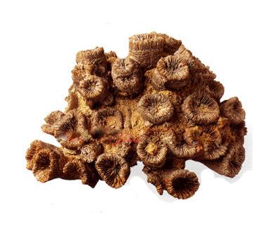 床板珊瑚与其他珊瑚的区别