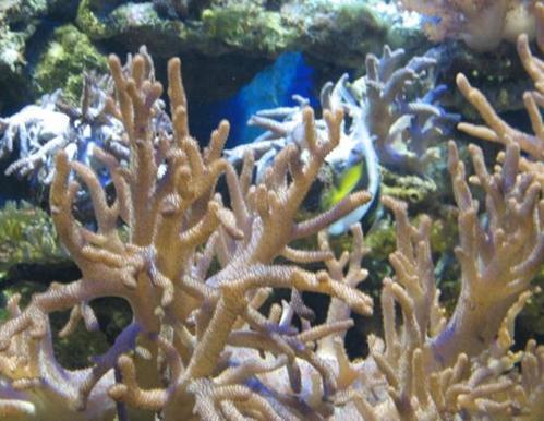 鹿角珊瑚分布范围