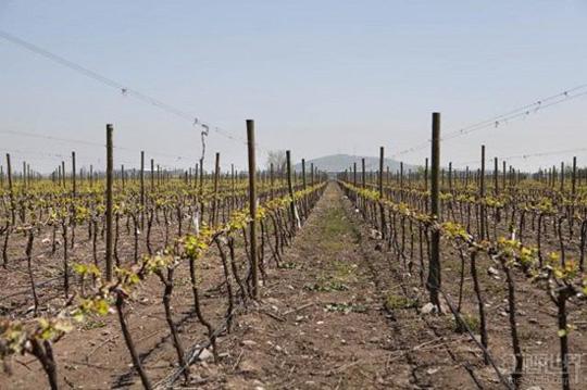 干露酒庄超越富邑集团变身全球最大葡萄园拥有者