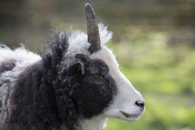 英独角羊意外走红简直就是独角兽