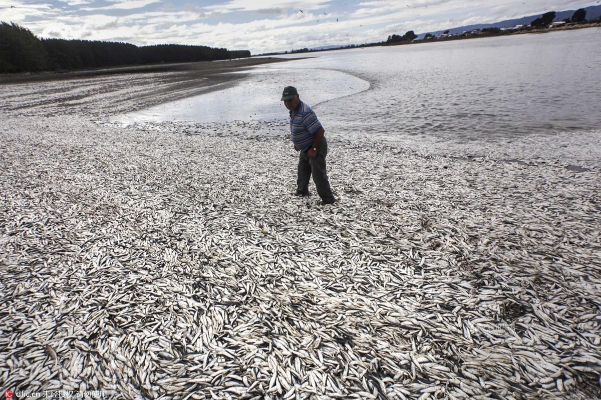 智利海域再度爆发赤潮 死亡沙丁鱼在海滩到处都是