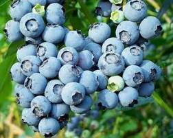 蓝莓的功效与作用有哪些?