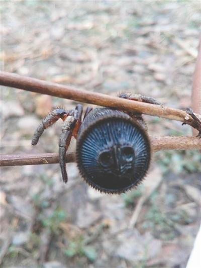 村民发现罕见蜘蛛 中国一共只有6只!