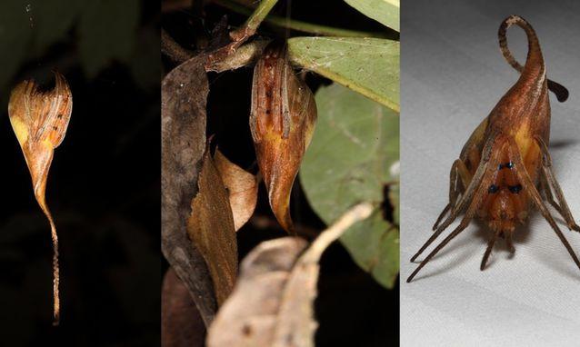 云南发现蜘蛛新物种 长相如同枯叶