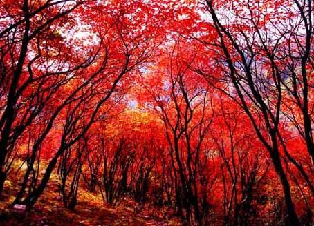 """化石门红叶迷人的""""逆天本领"""" 万山红遍层林尽染"""