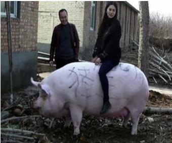 """猪王被美女当牛骑巨大""""猪王""""1500斤你见过吗?"""
