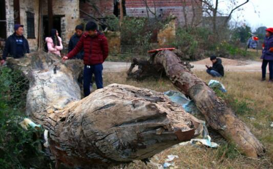 湖南村民河里挖出两棵楠木树 价钱悬殊难脱手
