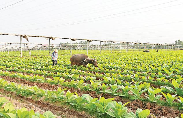 光村镇成为全国最大的优质雪茄烟叶种植基地