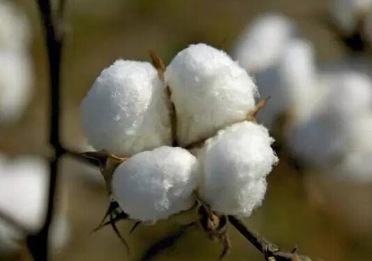 纺企存在补库需求 郑棉现货价格回落空间有限