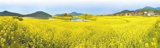 南方地区农民撂荒现象突出 油菜产业面临边缘化