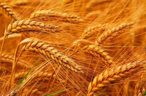 小麦价格见顶 在新麦上市前将维持高位稳定