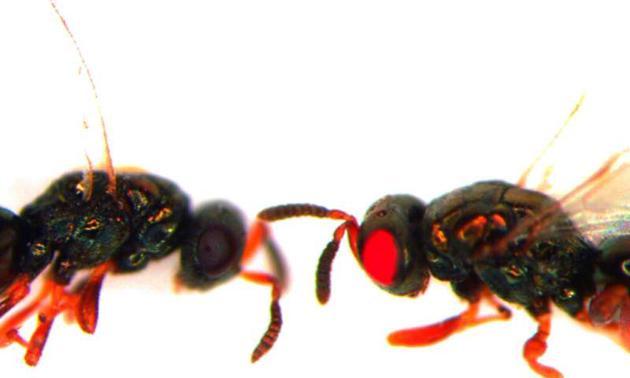 研究人员培育新型红眼黄蜂 为了解黄蜂生理特点提供途径