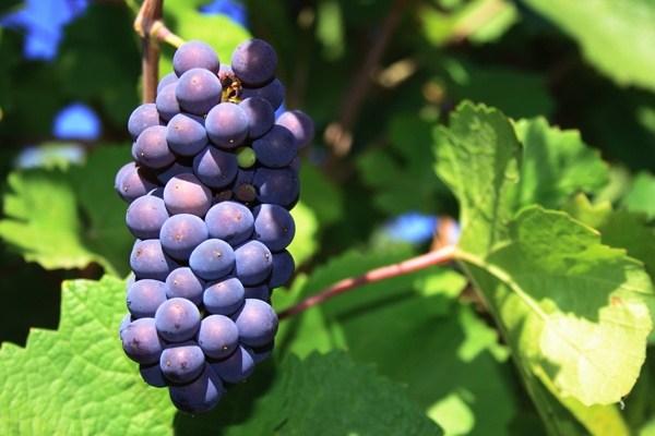 娇贵小公主黑皮诺 所酿葡萄酒精致优雅