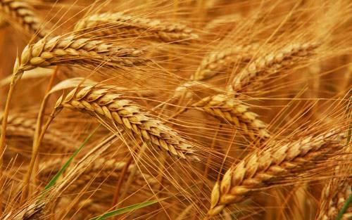 小麦期货品种概况