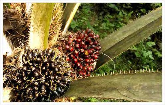 棕榈油期货品种概况