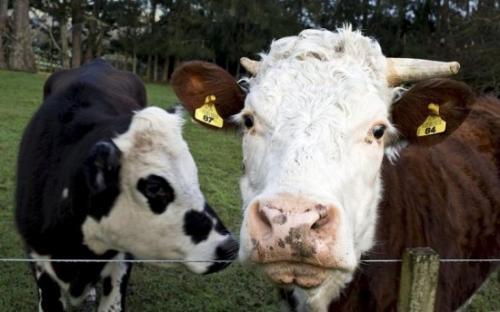 美国牧场遭雷击 32头奶牛全部断了气