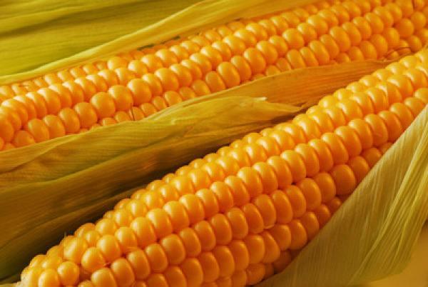 拍卖政策兑现 玉米期价顺势反弹