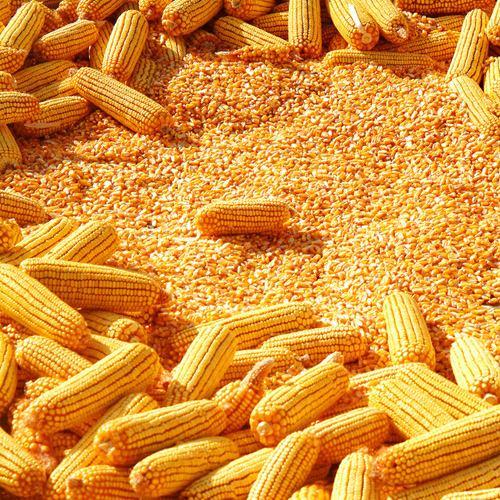 临储玉米将进入市场 玉米期价不跌反涨