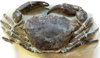 螃蟹化石:小身躯承载大故事