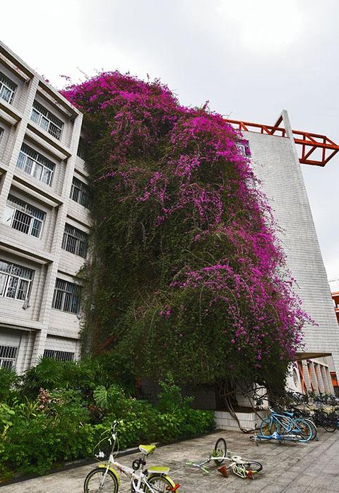 广西大学罕见鲜花瀑布 成校园独特风景