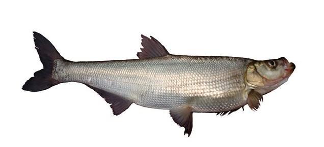 白鱼图片和介绍
