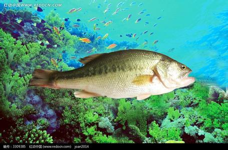 鲈鱼图片和介绍