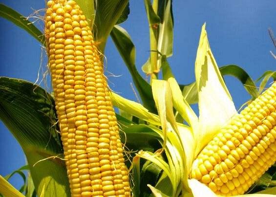 芝加哥农产品期价5月17日涨跌不一