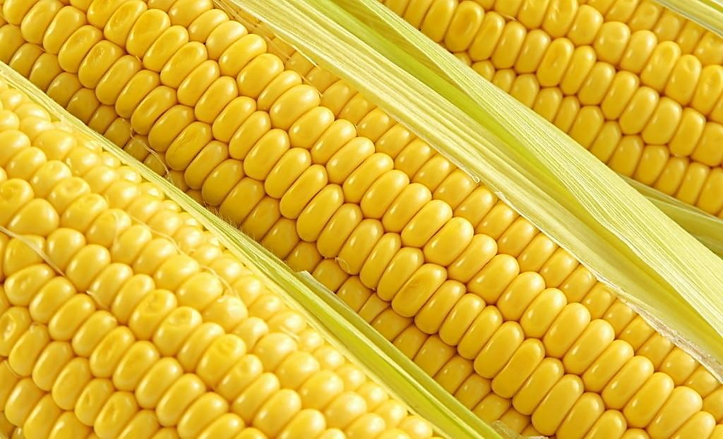 5月18日CBOT玉米期货收跌 美国玉米现货价格下跌