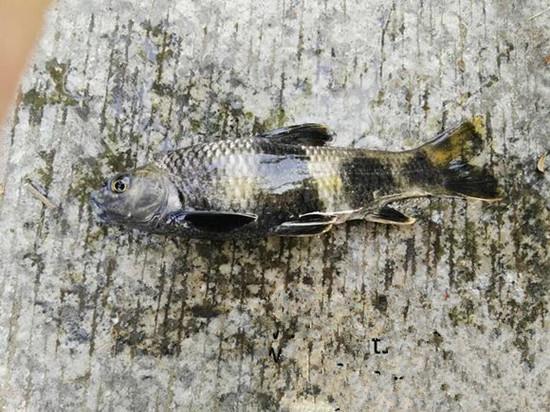 男子钓到怪鱼放生 通体有四道黑色横纹