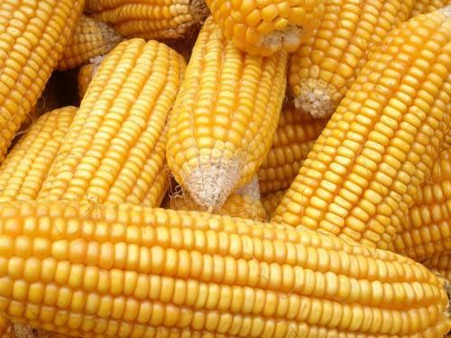 拍卖将回归理性 玉米价格存高位回落风险