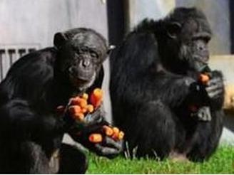 """猩猩搬家搞对象 以""""新人""""身份进入其他动物园"""