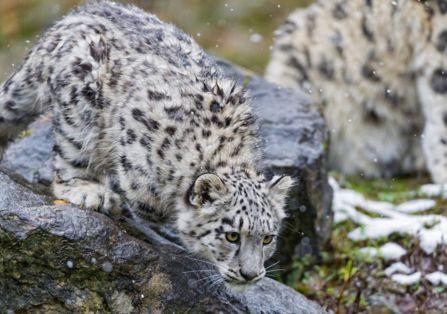 """青海首次发现雪豹 分别命名""""索索""""和""""玛玛"""""""
