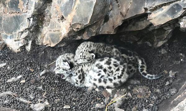 青海首次发现濒危野生动物雪豹 首次记录到雪豹及其两只幼崽