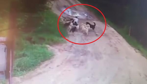 保安忘带食物被12条犬咬死 尸体还被恶犬啃食