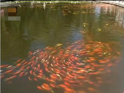 数千锦鲤排长队 集合完毕朝一个方向转圈