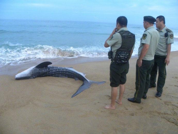 小鲸鲨搁浅命悬一线 群众合力把鲸鲨推向大海