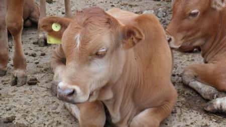 架子牛图片和介绍